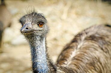 Portrait of emu, Connecticut, USA