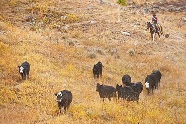 Cowboy herding cattle
