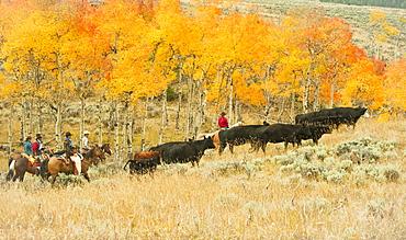 Horseback riders herding cattle