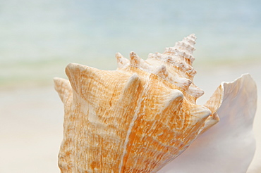 Close up of conch shell