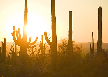 Sun setting behind cactus plants, Saguaro National Park, Arizona