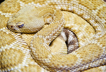 Close up of Western diamondback rattlesnake