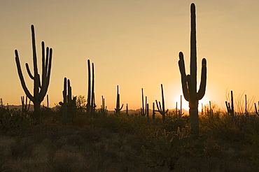 Sun behind cactus plants, Saguaro National Park, Arizona