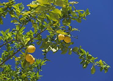 Low angle view of lemon tree