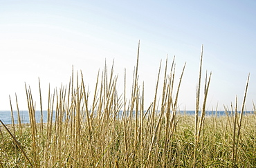 Dune grass on beach, Nantucket, Massachusetts, USA
