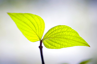 Close-up of dogwood's plant