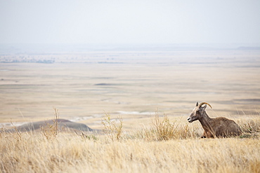 Deer on plain, USA, South Dakota, Badlands National Park