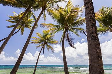 Palms trees along Luquillo Beach, Puerto Rico