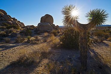 Yucca tree on desert, California