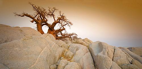 Barren tree among rocks on Kubu Island, Botswana