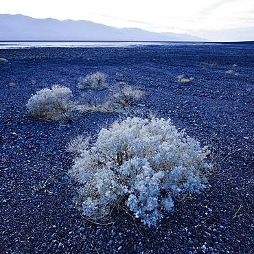 Sage brush in Death Valley