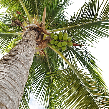 Palm tree and coconuts