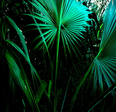 Tropical leaves, St. Thomas, US Virgin Islands