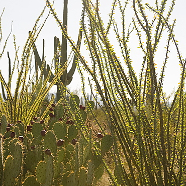 Cactus and desert plants, Saguaro National Park, Arizona