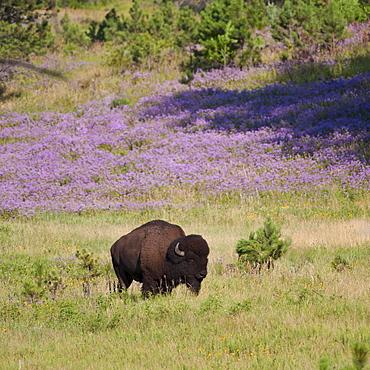 USA, South Dakota, American bison (Bison bison) in Custer State Park