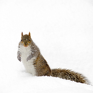 USA, New York, New York City, squirrel on snow