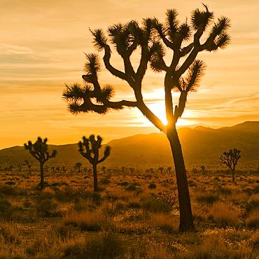 USA, California, Joshua Tree National Park, Desert at sunset, USA, California, Joshua Tree National Park