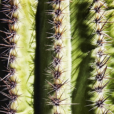 Full frame of saguaro cactus