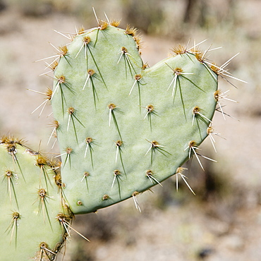 Close up of heart-shaped cactus, Arizona, United States