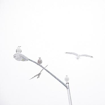 USA, New York State, Rockaway Beach, seagulls perching on street lamp