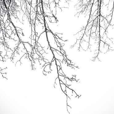 USA, New York State, Brooklyn, Williamsburg, snow on tree branches