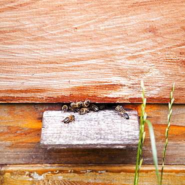 Ireland, County Westmeath, Bees in Beehive