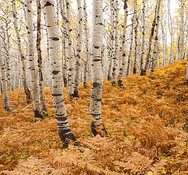 Aspen forest in autumn, Utah