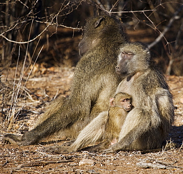 Baboon family with baby