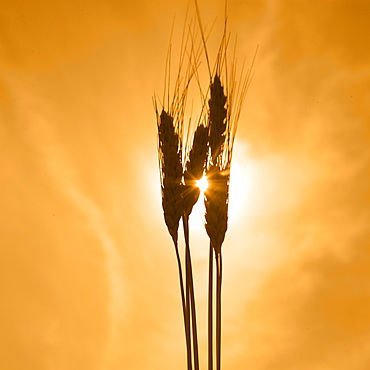 Wheat against a golden sky