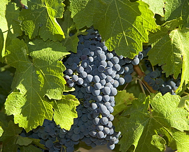 Closeup of California wine grapes