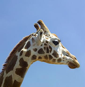 Profile of a giraffe's head