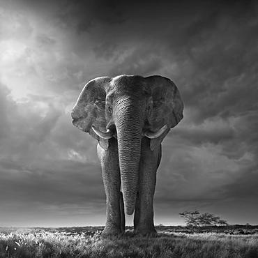 Africa, African elephant in savannah