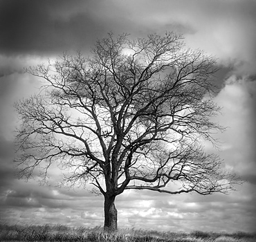 USA, Bare tree against overcast sky