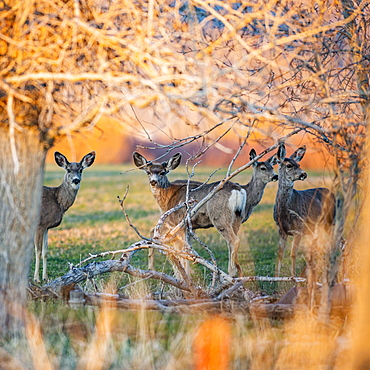 USA, Idaho, Picabo, Herd of deer in field