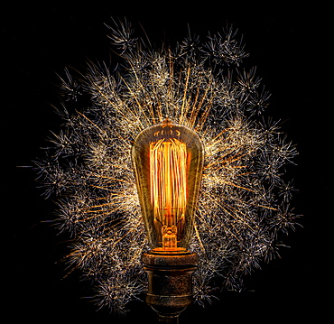 Edison light bulb with dandelion seeds on black background