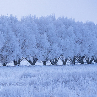 USA, Idaho, Bellevue, Winter landscape with row of frosted trees