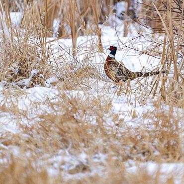 USA, Idaho, Bellevue, Male rooster pheasant in snowy field