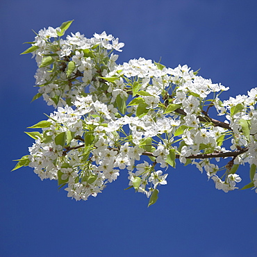 Branch of blossoming tree