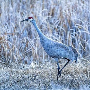 USA, Idaho, Bellevue, Sandhill crane (Antigone canadensis) in marsh