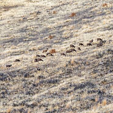 USA, Idaho, Bellevue, Herd of deer grazing on hillside