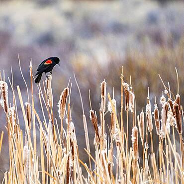 USA, Idaho, Bellevue, Red-winged blackbird (Agelaius phoeniceus) perching on cattails in marsh near Sun Valley