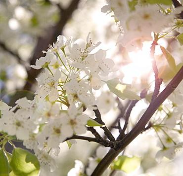 Closeup of a flowering apple tree