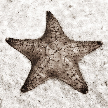 Still life of a starfish