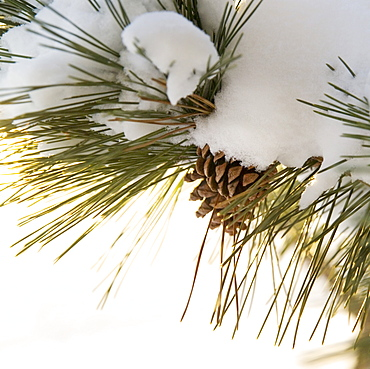 Closeup of snowy branch with pinecones