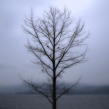Single bare tree with grey sky