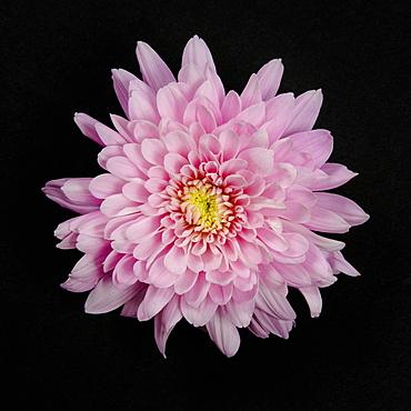 Pink Chrysanthemum on black background