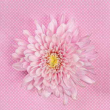 Pink Chrysanthemum on pink background