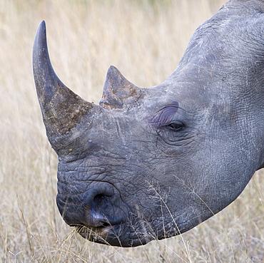 Close up of rhinoceros