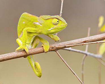 Chameleon on branch, Greater Kruger National Park, South Africa