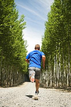 Man running between rows of poplar trees in tree farm